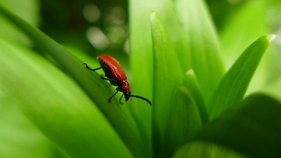 Scarabées de jardinage scarabées | L'almanach du vieux fermier