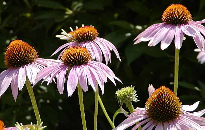 Coneflowers: comment planter, cultiver et entretenir l'échinacée