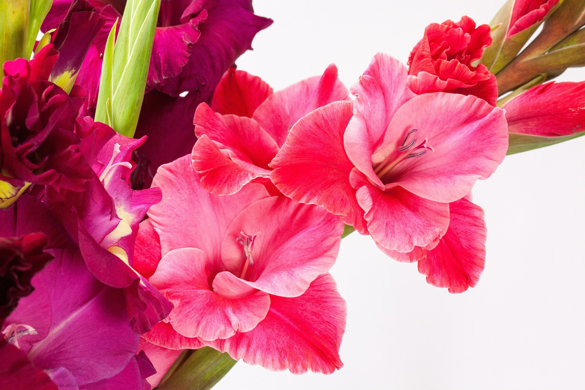 Fleurs de naissance d'août: glaïeul et pavot   Significations