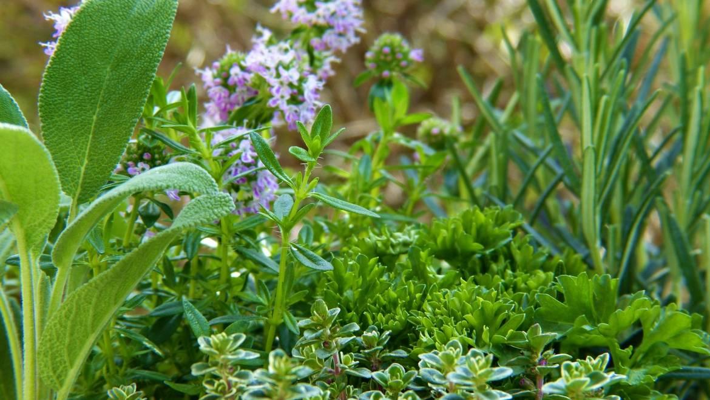 Calendrier de plantation d'herbes: Planter et faire pousser des herbes