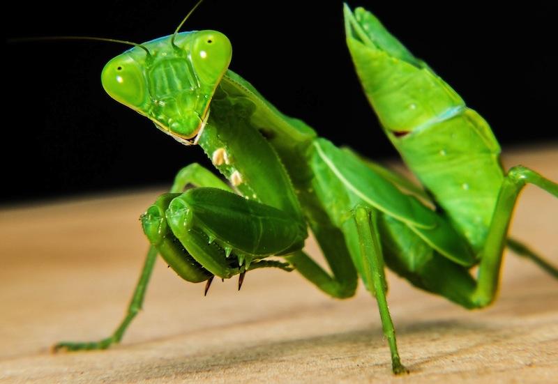 La mante religieuse: insecte bénéfique | Faits sur la mante religieuse