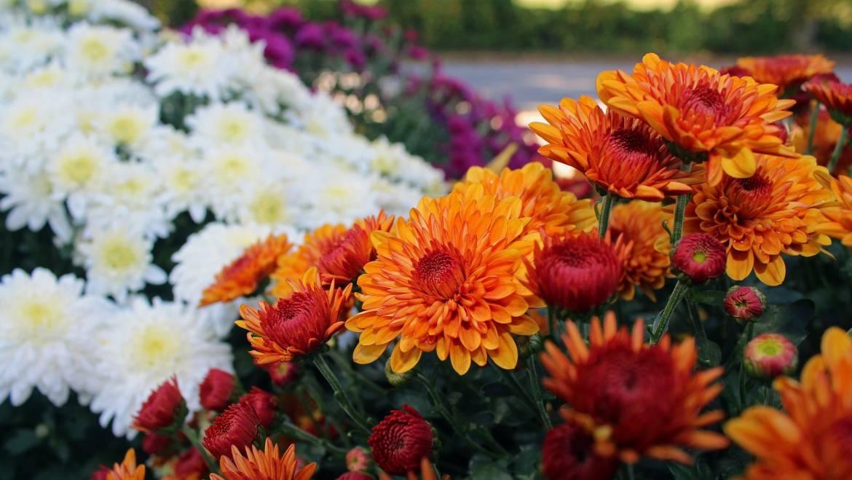 Chrysanthèmes: quand planter les mamans