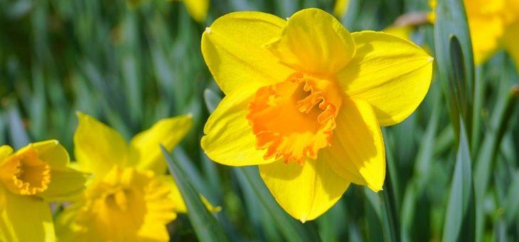 Jonquilles: Comment planter, faire pousser et entretenir des fleurs de jonquille