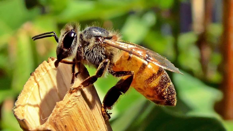 Comment traiter les piqûres d'abeilles