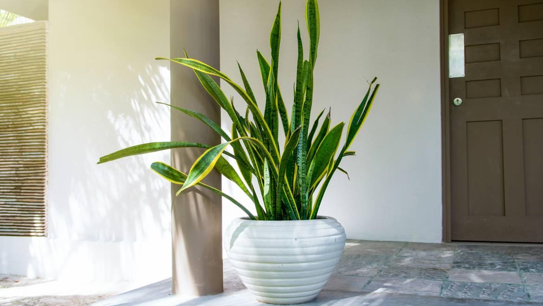 Plantes à serpents: comment prendre soin des plantes à serpents (Sansevieria)