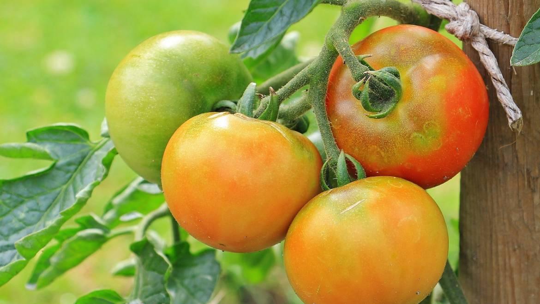 Jardinage de légumes pour débutants: les bases de la plantation et de la croissance