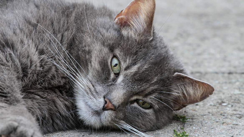 Qu'est-ce que votre chat vous dit? | Langage corporel et communication du chat