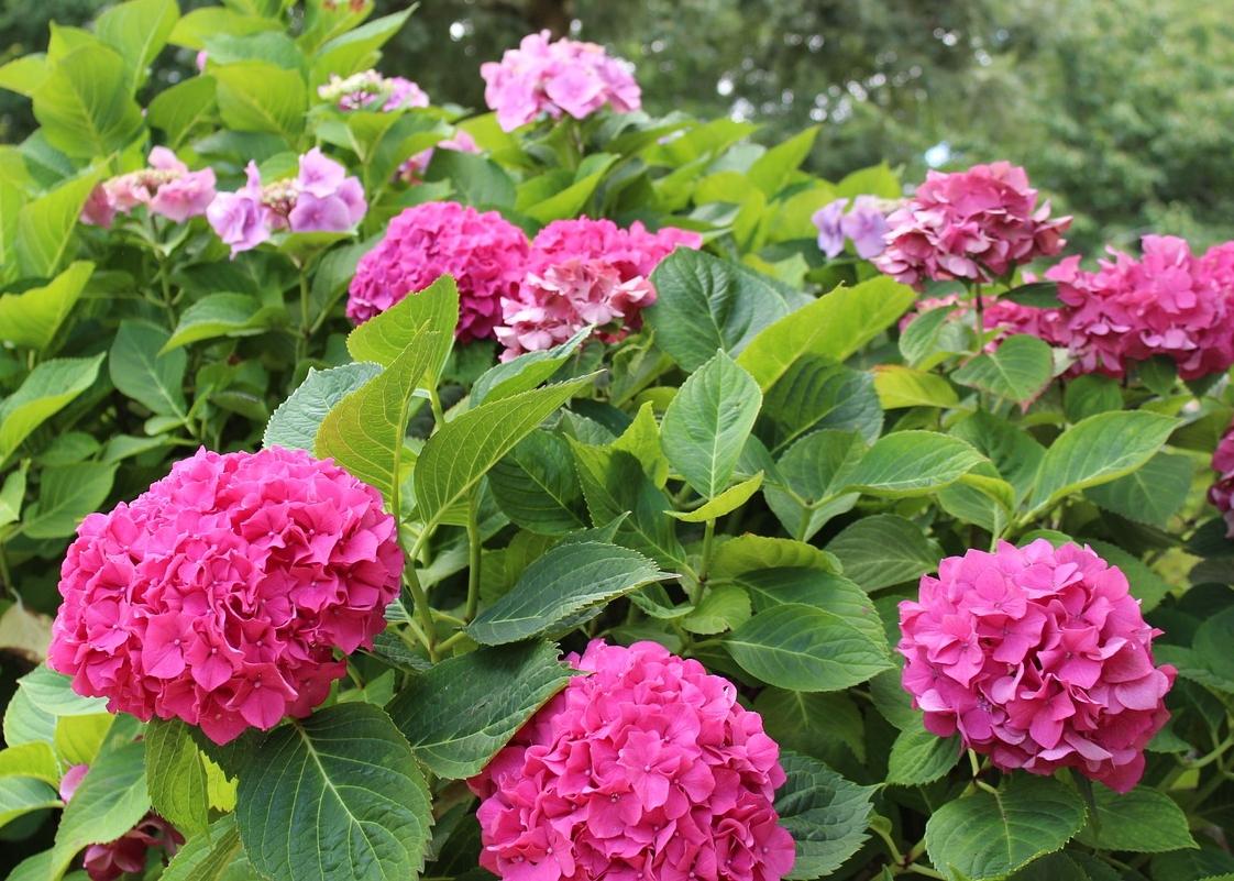 Hortensias: comment planter, faire pousser et tailler des arbustes d'hortensias