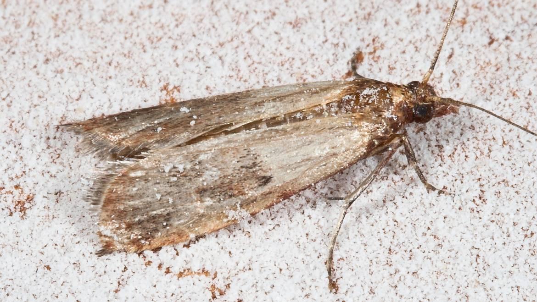 Comment se débarrasser de Pantry Moths
