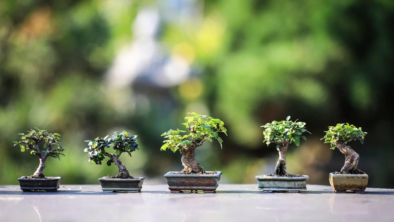 Bonsaï en croissance: soin des arbres au bonsaï pour les débutants