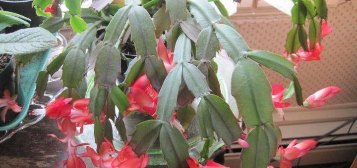 Cactus de Noël, cactus de Thanksgiving et cactus de Pâques