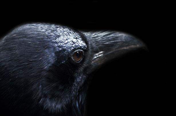Faits sur les oiseaux Corbeaux | L'almanach du vieux fermier