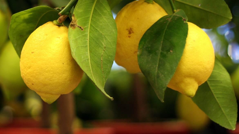 Cultiver des agrumes dans des conteneurs | Les jardins de Laurent du vieux fermier