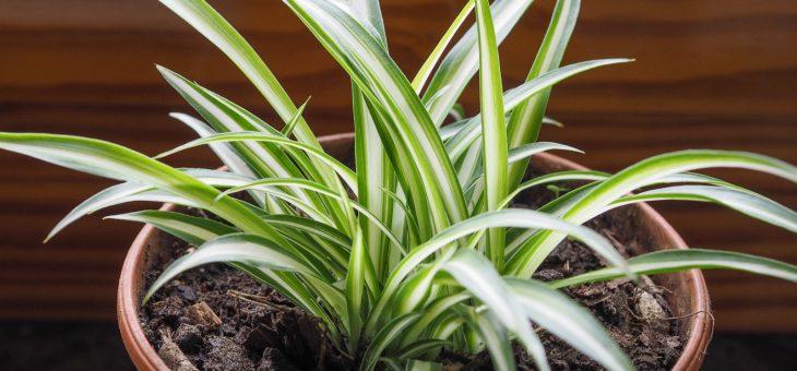 Plantes araignées: Comment cultiver et entretenir des plantes araignées