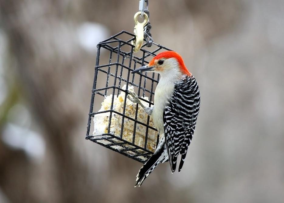 Recettes pour oiseaux faits maison: suif, graines, etc.