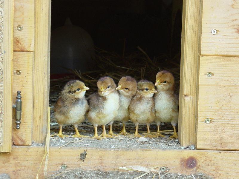 Élever des poulets 101: Comment élever des poussins à la maison