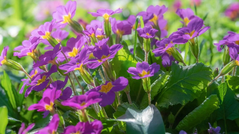Fleurs de naissance de février: Primevère et Violet | Que signifient-ils?