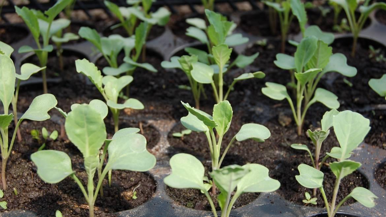 Démarrage des graines en intérieur: comment et quand commencer les graines
