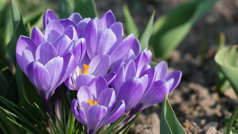 Crocus: Comment planter, faire pousser et prendre soin des fleurs de crocus