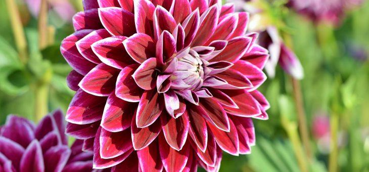 Dahlias: Comment planter, cultiver et prendre soin des fleurs de dahlia