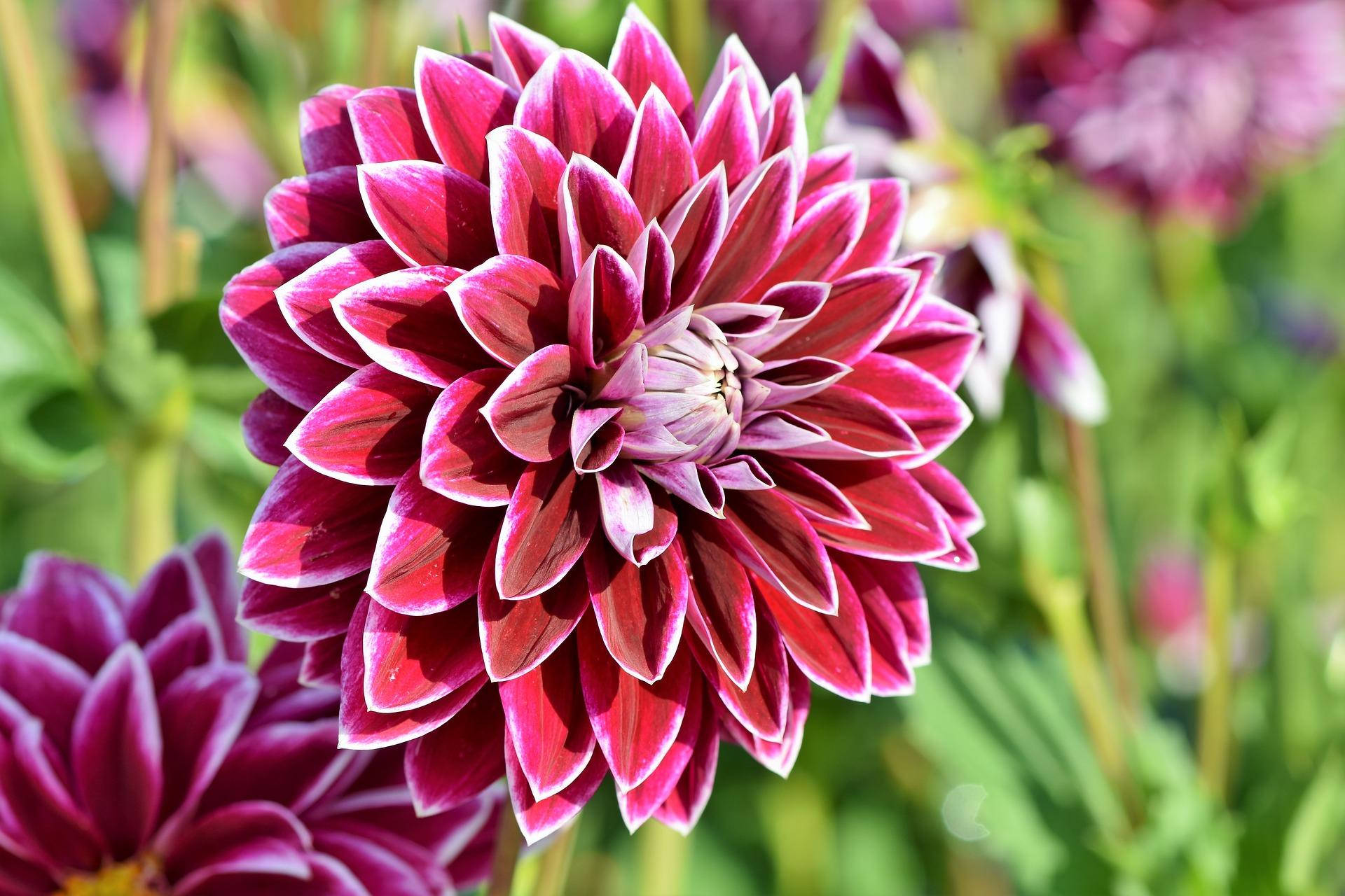 Dahlias: Comment planter, cultiver et prendre soin des ...