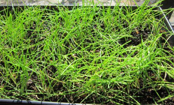 Jardinage: commencer les oignons dans le jardin