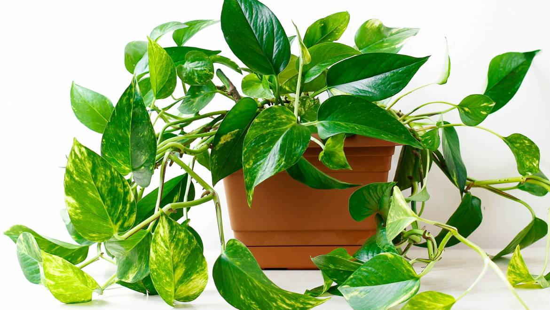 Pothos: comment prendre soin des plantes Golden Pothos