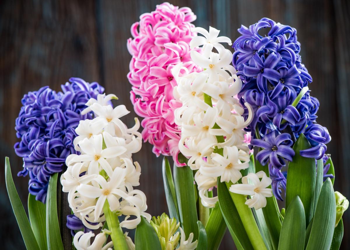Jacinthes: Planter et prendre soin des fleurs de jacinthe