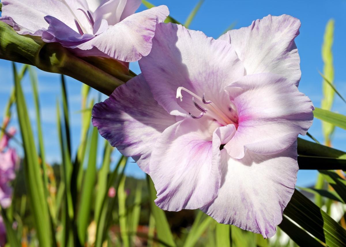 Glaïeul: Comment planter, faire pousser et prendre soin des fleurs de glaïeul