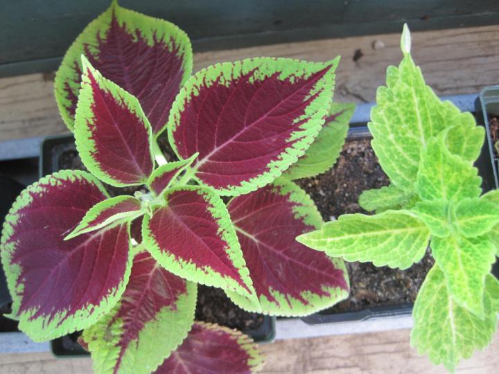 Variétés végétales colorées Coleus pour le jardin