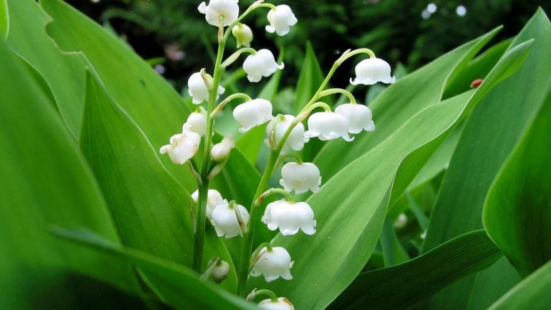 Fleur de naissance mai | L'Les jardins de Laurent du vieux fermier
