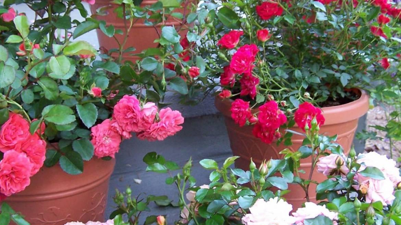 Roses faciles à cultiver | L'Les jardins de Laurent du vieux fermier