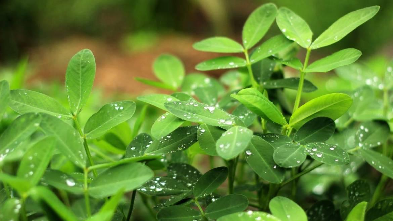 Comment faire pousser vos propres arachides: conseils de plantation et de culture