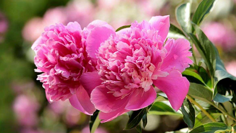 Pivoines: plantation, croissance et entretien des fleurs de pivoine