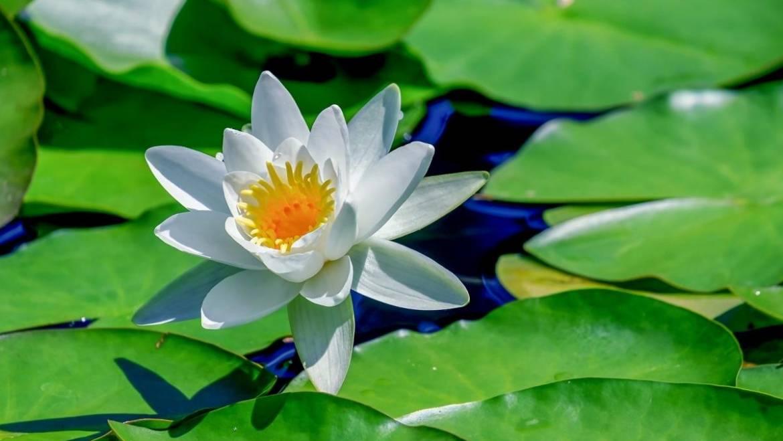 Fleurs de naissance de juillet: Larkspur et Water Lily