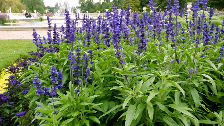 Salvia: Comment planter, faire pousser et prendre soin des fleurs de Salvia (sauge)