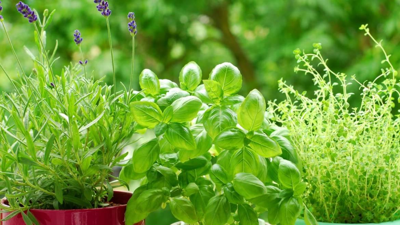 Herbes: Compagnon plantant des herbes pour le jardin et la cuisine