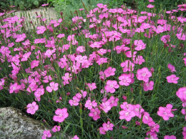 Types de fleur de Dianthus | Les jardins de Laurent du vieux fermier