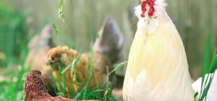 Problèmes courants de santé du poulet | Les jardins de Laurent du vieux fermier