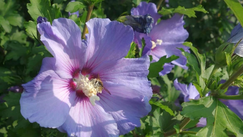 Rose de Sharon et Hardy Hibiscus pour l'automne