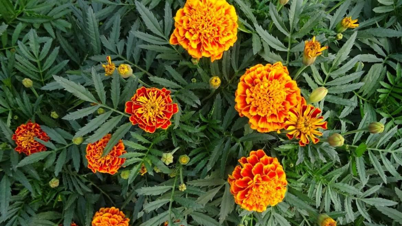 Soucis: Comment planter et faire pousser des fleurs de souci