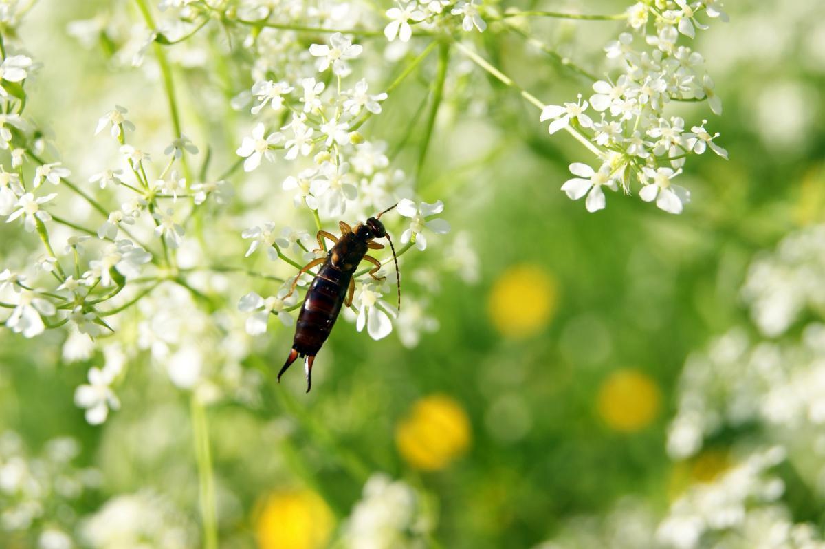 """Earwigs: Comment se débarrasser des earwigs ou """"Pincher Bugs"""""""