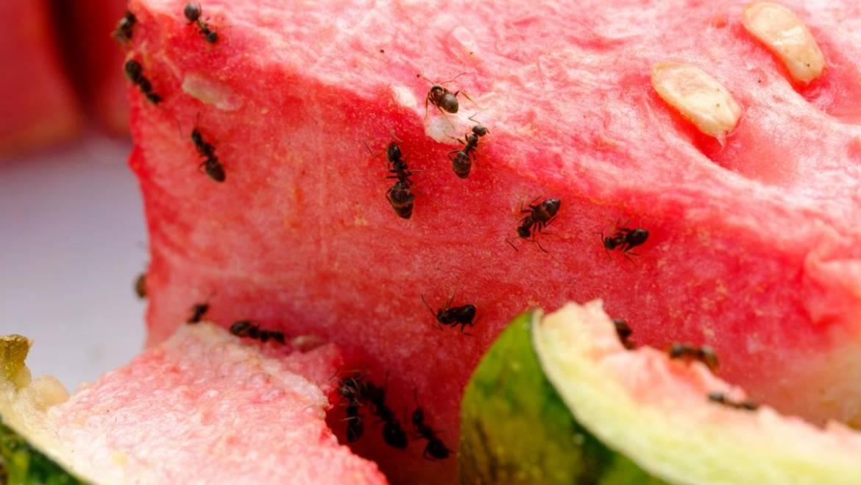 Fourmis: Comment se débarrasser des fourmis à la maison