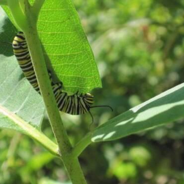 1594564650_butterflies_and_caterpillars_017.jpg