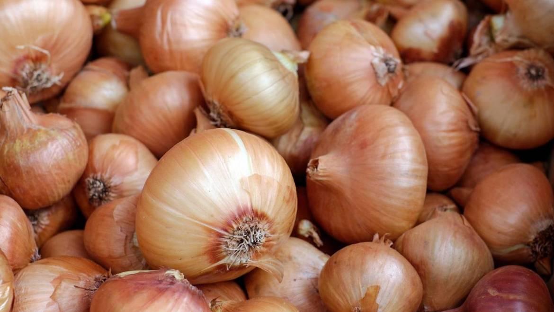 Oignons: plantation, culture et récolte des oignons