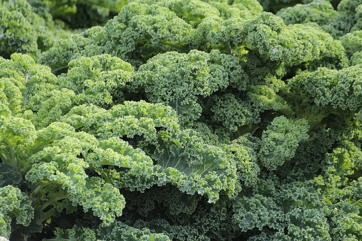 Kale: Planter, cultiver et récolter des plantes de chou frisé à la maison