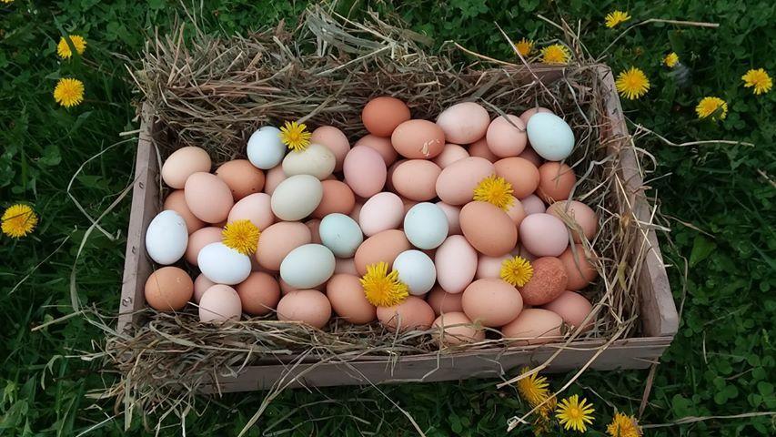 Élevage de poulets 101: collecte, stockage et éclosion des œufs de poule