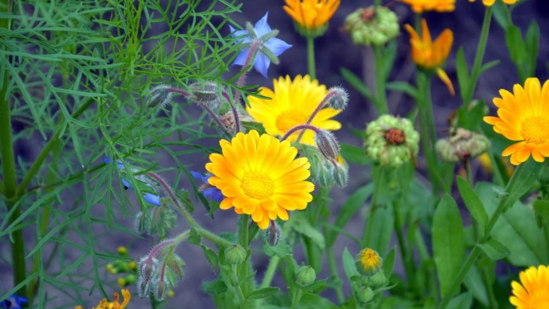 Découvrez 20 fleurs à semis automatique! | Les jardins de Laurent du vieux fermier