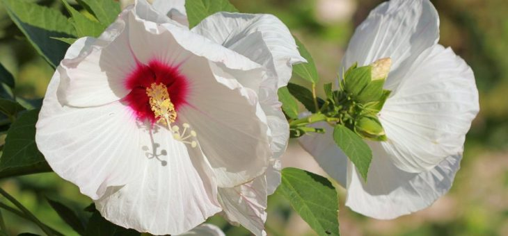 Hibiscus: Comment planter, cultiver et entretenir des plantes Rose of Sharon