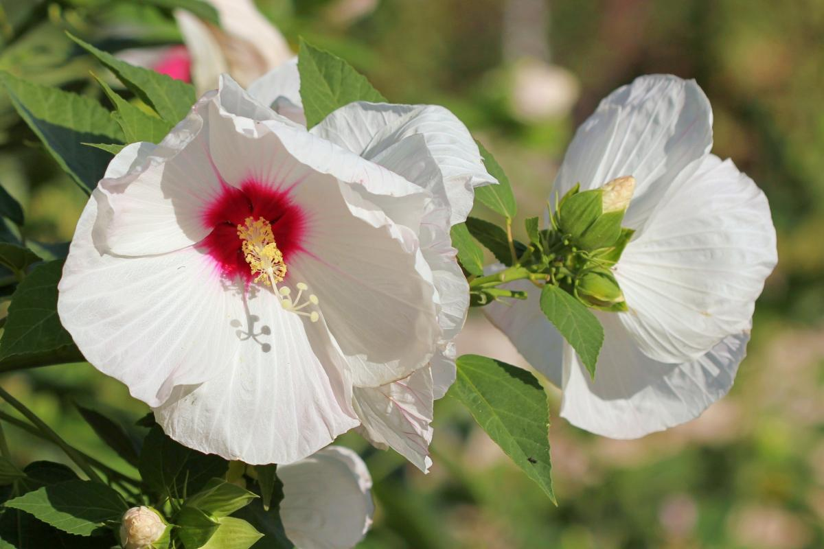 Hibiscus: Comment planter, cultiver et entretenir des plantes Rose of Sharon